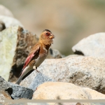 Asian Crimson-winged Finch