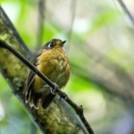 Rufous-breasted Antpitta