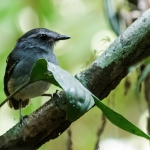 Ash-throated Gnateater