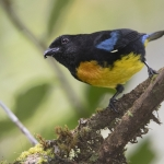 Black-and-gold Tanager