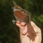 Cabanis's Spinetail