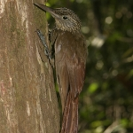 Ocellated Woodcreeper