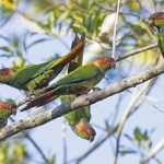 Ochre-marked Parakeet