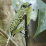 Olive-faced Flatbill
