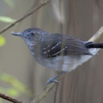Band-tailed Antbird