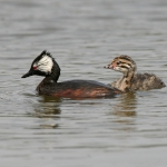 Grebes, Loons