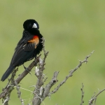 Fan-tailed Widowbird