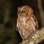 Middle American Screech Owl