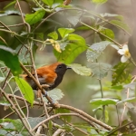 Black-faced Rufous Warbler