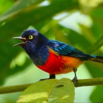 Scarlet-breasted Dacnis