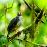 Plumbeous Forest Falcon