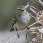 Coopmans's Tyrannulet