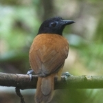 White-shouldered Antbird