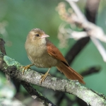 Crested Spinetail