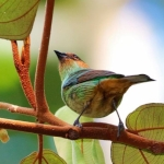 Rufous-cheeked Tanager