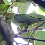 Spot-winged Parrotlet