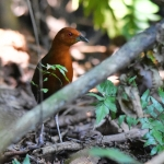 Chestnut-headed Crake