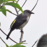 Sulphur-rumped Tanager