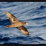 Flesh-footed Shearwater