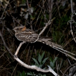 Scissor-tailed Nightjar