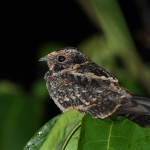 Spot-tailed Nightjar