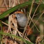 Bahia Spinetail