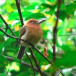 Chestnut-headed Nunlet