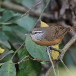 Fawn-breasted Wren