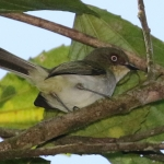 Bay-ringed Tyrannulet