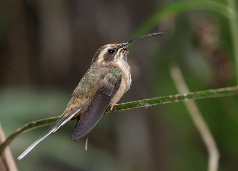 Dusky-throated Hermit