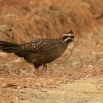 Long-tailed Wood Partridge