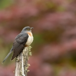 Red-chested Cuckoo