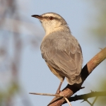 Long-billed Crombec