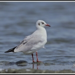 Brown-headed Gull