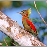 Checker-throated Woodpecker
