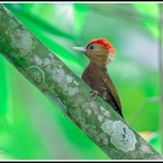 Bamboo Woodpecker