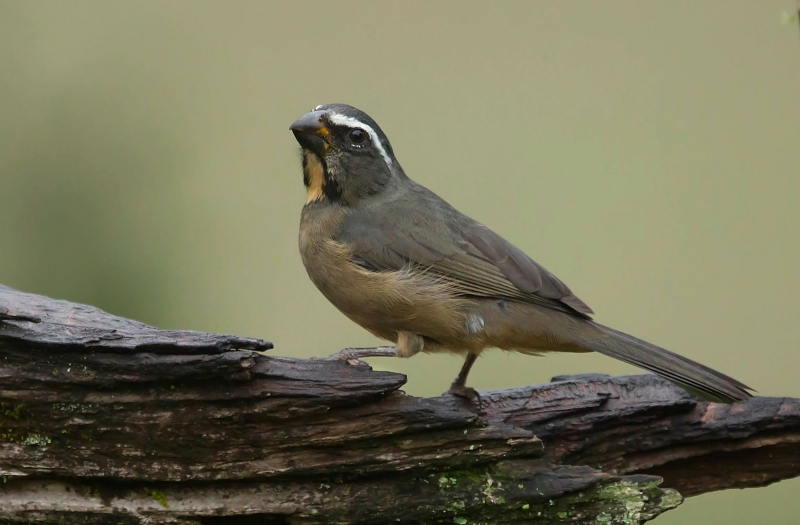 Thick-billed Saltator