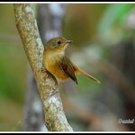 Slaty-blue Flycatcher