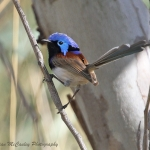 Purple-backed Fairywren