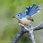 Lovely Fairywren