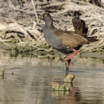 Black-tailed Nativehen