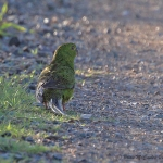 Eastern Ground Parrot