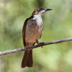 White-streaked Honeyeater