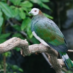 White-bellied Imperial Pigeon