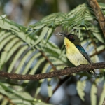 Metallic-winged Sunbird