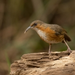 Rusty-cheeked Scimitar Babbler