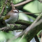 White-browed Crombec