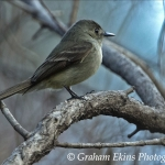 Hispaniolan Pewee