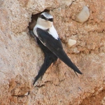 White-backed Swallow