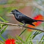 Tawny-shouldered Blackbird